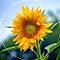 SunflowerSeedOil.png
