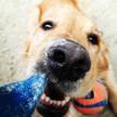Chuckit Ultra Tug dog toy showing dog tugging