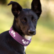 Hurtta Weekend Warrior Collar colour currant shown on dog