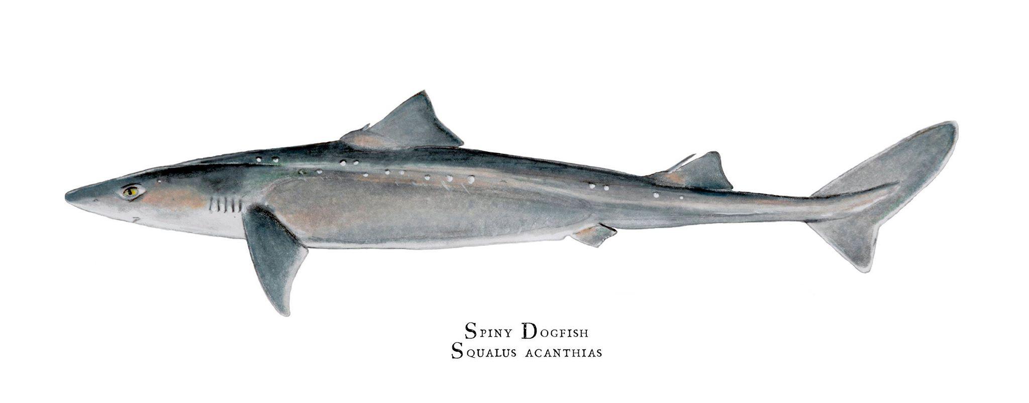 Spiny Dogfish - Shark Week 2015