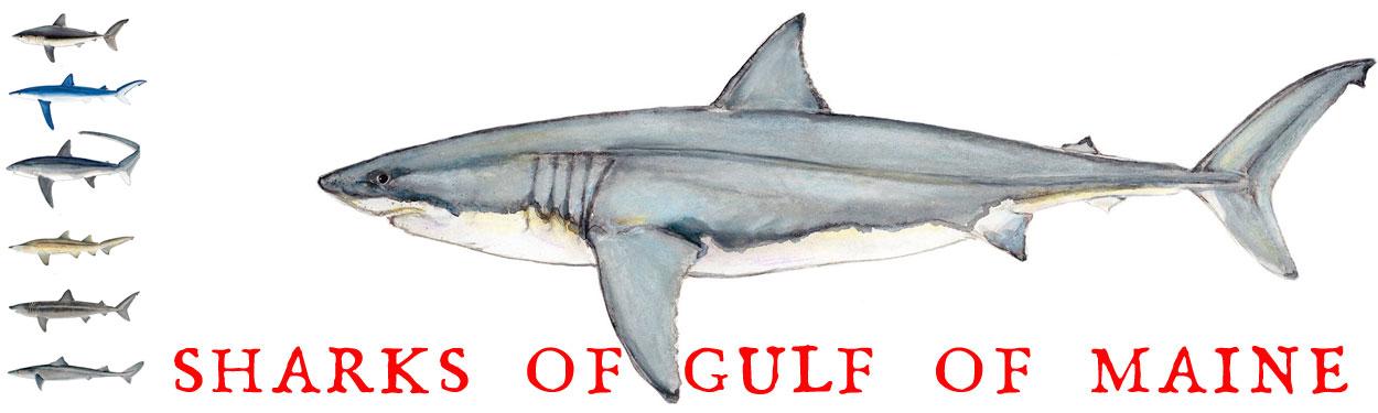 gom-sharks-banner.jpg