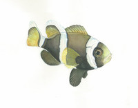Wide-Band Clownfish (Amphiprion latezonatus), Juvenile 16x20 Matted Limited Edition Giclee