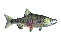 Chum Salmon (Oncorhynchus keta), 16x20 Matted Limited Edition Giclee