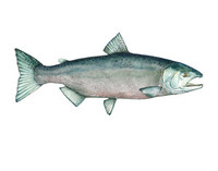 Chinook Salmon (Oncorhynchus tshawytscha), 16x20 Matted Limited Edition Giclee