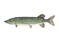 Northern Pike 11x14 Matted Fine Art Print