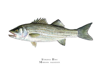 The limited edition, striped bass giclee print is printed using the finest reproduction technology available to the artist today.