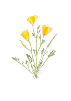 California Poppy (Eschscholzia californica) 11x14 Matted Fine Art Print