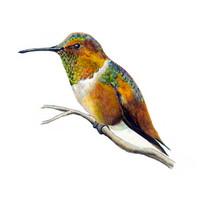 Allen's Hummingbird (Selasphorus sasin) 8x10 Matted Fine Art Print