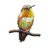 Rufous Hummingbird (Selasphorus rufus) 8x10 Matted Fine Art Print