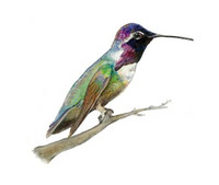 Costa's Hummingbird (Calypte costae) 8x10 Matted Fine Art Print