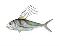 Roosterfish (Nematistius pectoralis) 11x14 Matted Fine Art Print