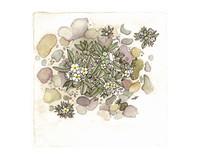 Cryptantha roosiorum Munz with Stones 8x10 Matted Fine Art Print