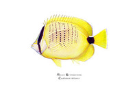 Millet Butterflyfish (Chaetodon miliaris) 16x20 Matted Limited Edition Giclee