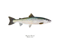 Atlantic Salmon (Salmo salar) 11x14 Matted Fine Art Print
