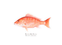 Northern Red Snapper (Lutjanus campechanus) 16x20 Matted Limited Edition Giclee