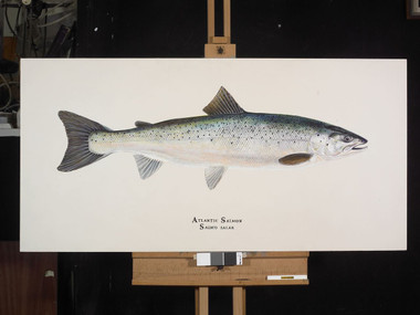 The limited edition, gallery-wrapped giclee print of the Atlantic Salmon is the same size as the original.