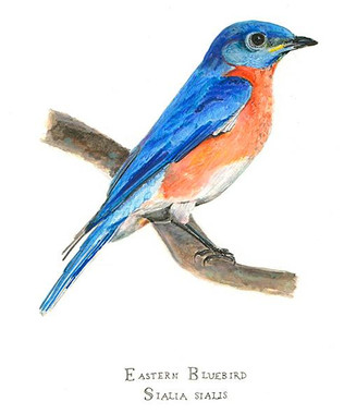 Watercolor and Colored Pencil Eastern Bluebird Perched on a Branch