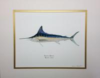 2014 Striped Marlin (Kajikia audax) 11x14 Matted Fine Art Print