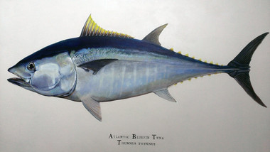 "48""x24"" Bluefin Tuna Gallery-Wrapped, Limited Edition Giclee Print on Canvas"