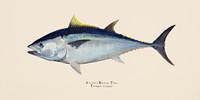 """Bluefin Tuna (Thunnus thynnus) 11""""x14"""" Matted Fine Art Print"""