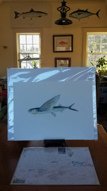 "This flyingfish limited edition giclee print will fit a standard 16""x20"" mat. The study (pictured here below the print) is also available in the ""Artist's Studies"" section of my online store."