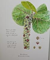 Sea Grapes (Coccoloba uvifera) Limited Edition Giclee Print-Plate 3