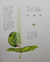 "Sea Grape (Coccoloba uvifera) 11""x14"" Matted Fine Art Print - Plate 1"