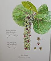 Sea Grape (Coccoloba uvifera) 11x14 Matted Fine Art Print - Plate 3