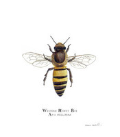 Western Honey Bee (Apis mellifera) 8x10 Matted Fine Art Print