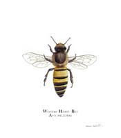 Western Honey Bee (Apis mellifera) 8x10 Matted Fine Art Print