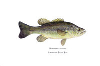 Largemouth Bass (Micropterus salmoides) 11x14 Matted Fine Art Print