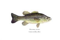 Largemouth Bass (Micropterus salmoides) 11x14 Matted Fine Art Print