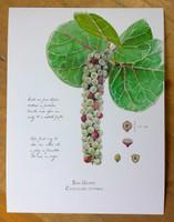WYSIWYG Sea Grape Fruit Scientific Illustration Artist's Proof