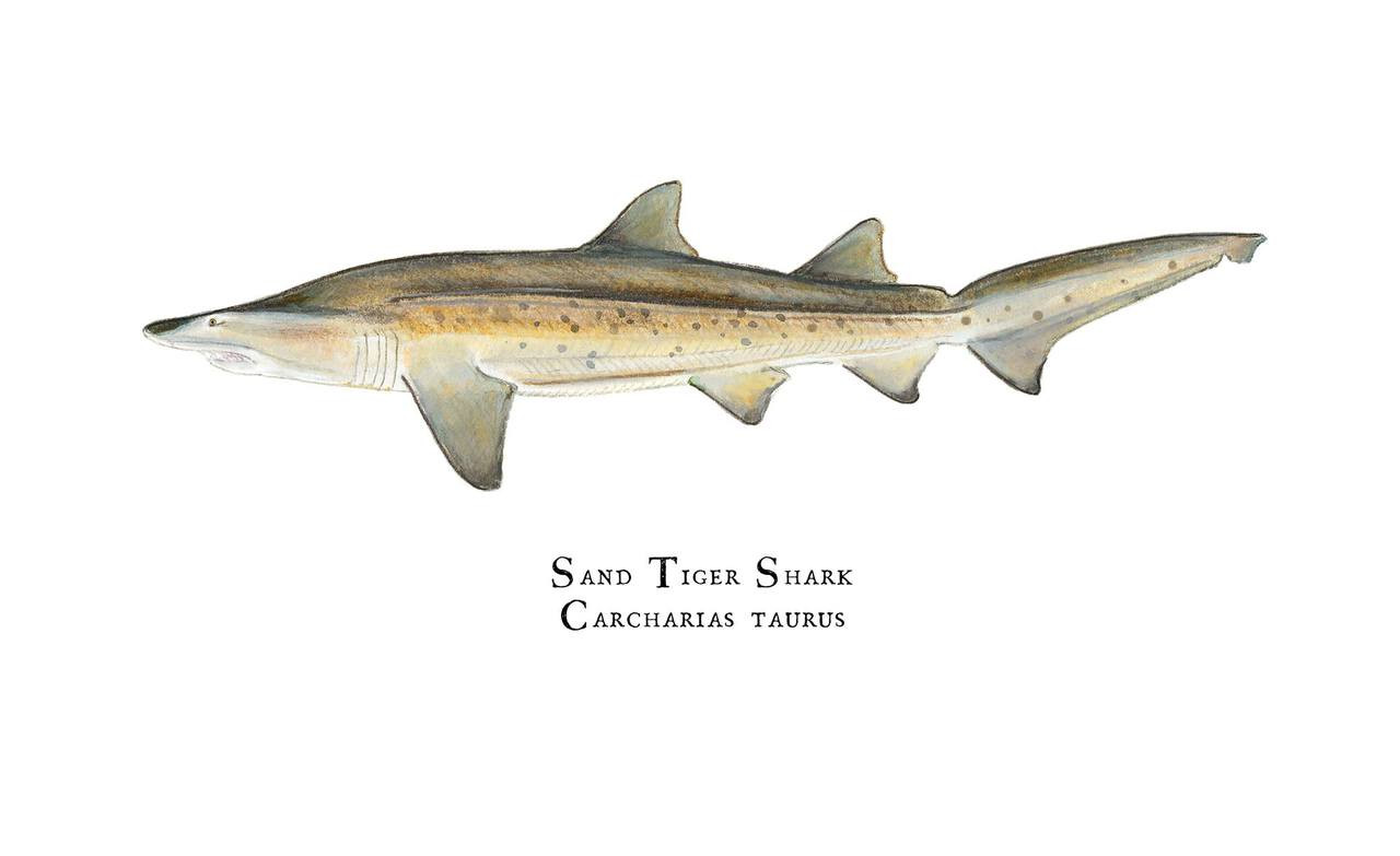 Sand Tiger Shark Carcharias Taurus 11 Quot X14 Quot Fine Art