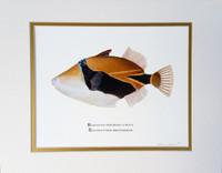 "Wedge-tail Triggerfish (aka Humuhumu nukunuku apua'a) (Rhinecanthus rectangulus) 11""x14"" Matted Fine Art Print"