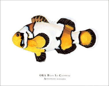 Open Edition & Limited Edition Prints Available from ORA Direct