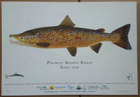 Penobscot River Spawning Male Atlantic Salmon (Salmo salar) 13x19 Limited Edition Giclee Print