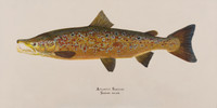 "Spawning Male Atlantic Salmon (Salmo salar) 48""x 24"" Gallery Wrapped Limited Edition Giclee Print"