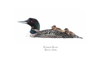 Common Loon (Gavia immer) with Chicks 8x10 Matted Limited Edition Giclee Print