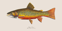 "Brook Trout (Salvelinus fontinalis) 48""x24"" Gallery Wrapped Limited Edition Giclee"