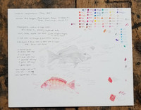 Original Northern Red Snapper Artist's Study