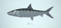 "Bonefish (Albula vulpes) 30""x14"" Gallery Wrapped Limited Edition Giclee Print"