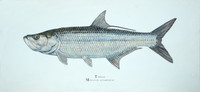 "Tarpon (Megalops atlanticus) 30""x14"" Gallery Wrapped Limited Edition Giclee Print"