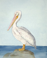 "American White Pelican (Pelecanus erythrorhynchos) 16""x20"" Limited Edition Giclee Print"