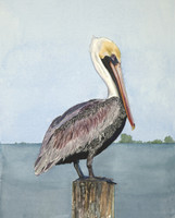 "Brown Pelican ( Pelecanus occidentalis) 11""x14"" Matted Fine Art Print"