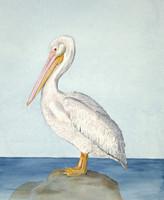 "White Pelican (Pelecanus erythrorhynchos) 11""x14"" Matted Fine Art Print"