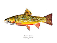 "Brook Trout (2020-Watercolor) 11""x14"" Matted Fine Art Print"