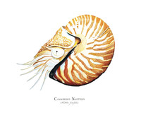 "Chambered Nautilus (Nautilus pompilius) 11""x14"" Matted Fine Art Print"