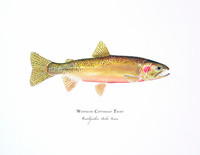 "Westslope Cutthroat Trout (2020-Watercolor) 8""x10"" Matted Fine Art Print"