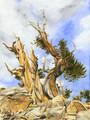 Bristlecone Pine #2